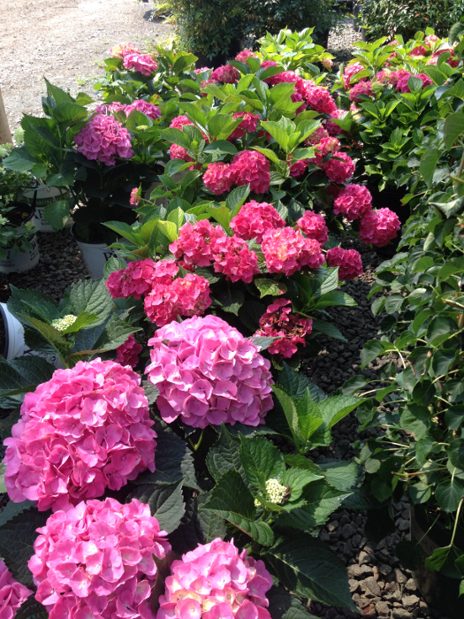 Pruning Hydrangea Color - Country Springs Wholesale Nursery