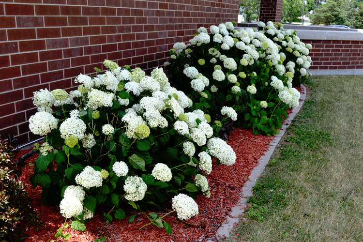 Pruning Hydrangea - Country Springs Wholesale Nursery